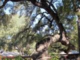 Heritage-oak-at-reataurant-